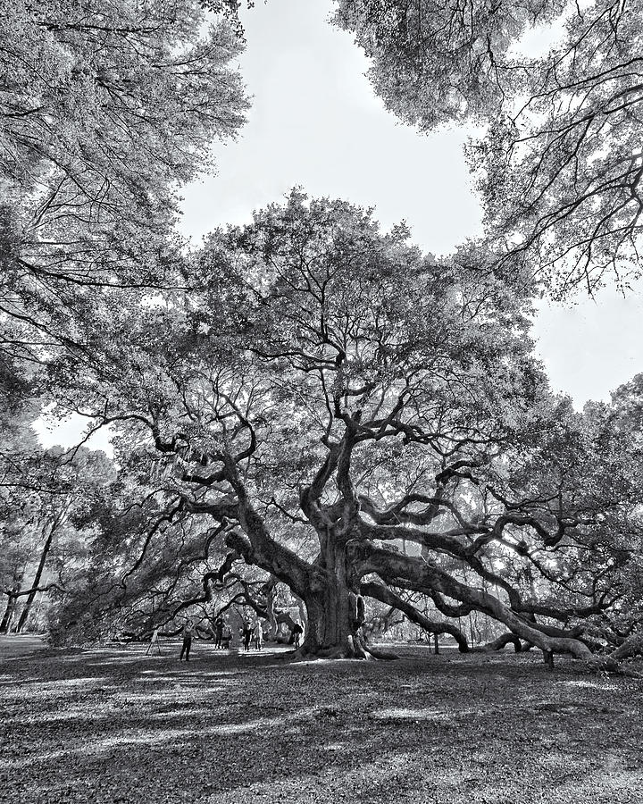 Trees Photograph - Angel Oak by Dave Stegmeir