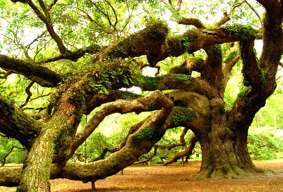 Tree Photograph - Angel Oak by Heidi Berkovitz