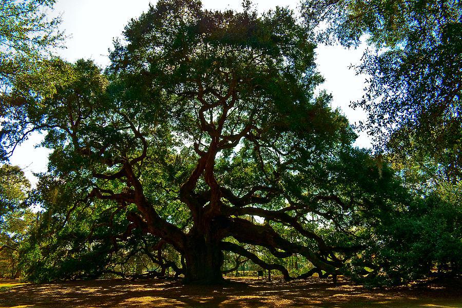 Tree Photograph - Angel Oak Tree 2004 by Louis Dallara