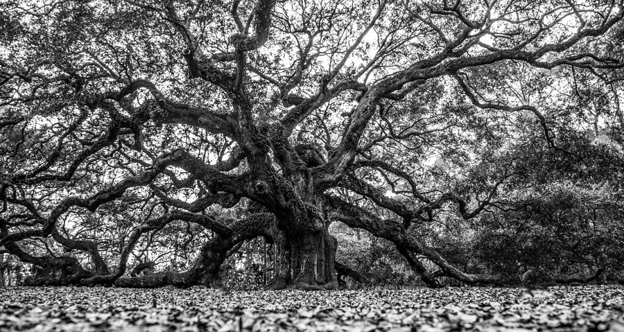 angel oak tree black and white photograph by john mcgraw. Black Bedroom Furniture Sets. Home Design Ideas