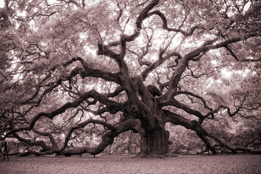 Angel Oak Photograph - Angel Oak Tree by Dustin K Ryan