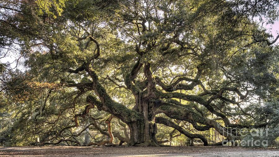 Angel Oak Tree Photograph - Angel Oak Tree Live Oak  by Dustin K Ryan