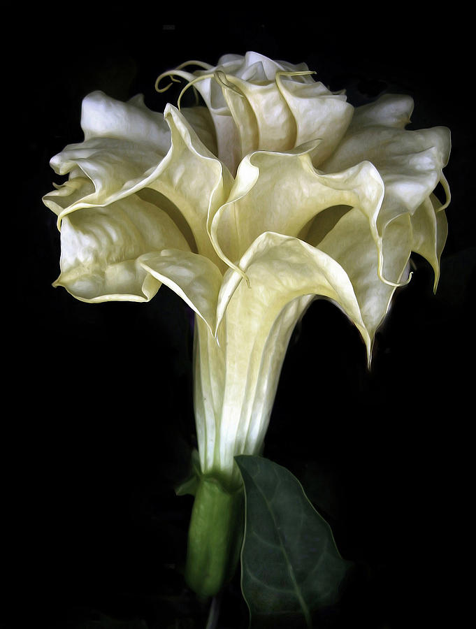 Flower Photograph - Angel Trumpet by Jessica Jenney