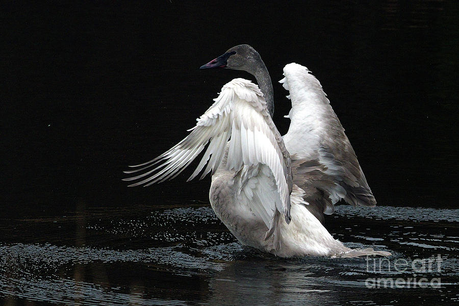 Trumpeter Swan Photograph - Angel Wings 2 by Sharon Talson