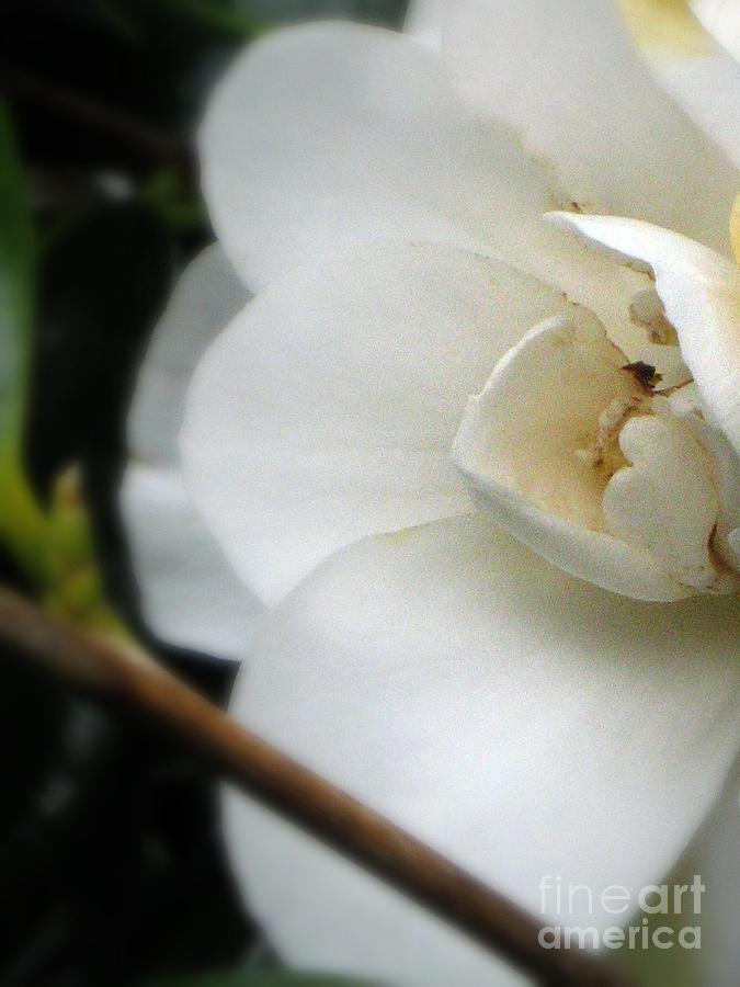 Camellia Photograph - Angelic Camellia by Mg Blackstock