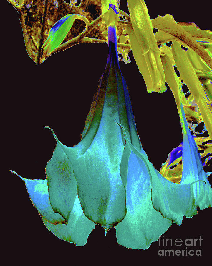 Flower Photograph - Angels Trumpet Flower by Merton Allen