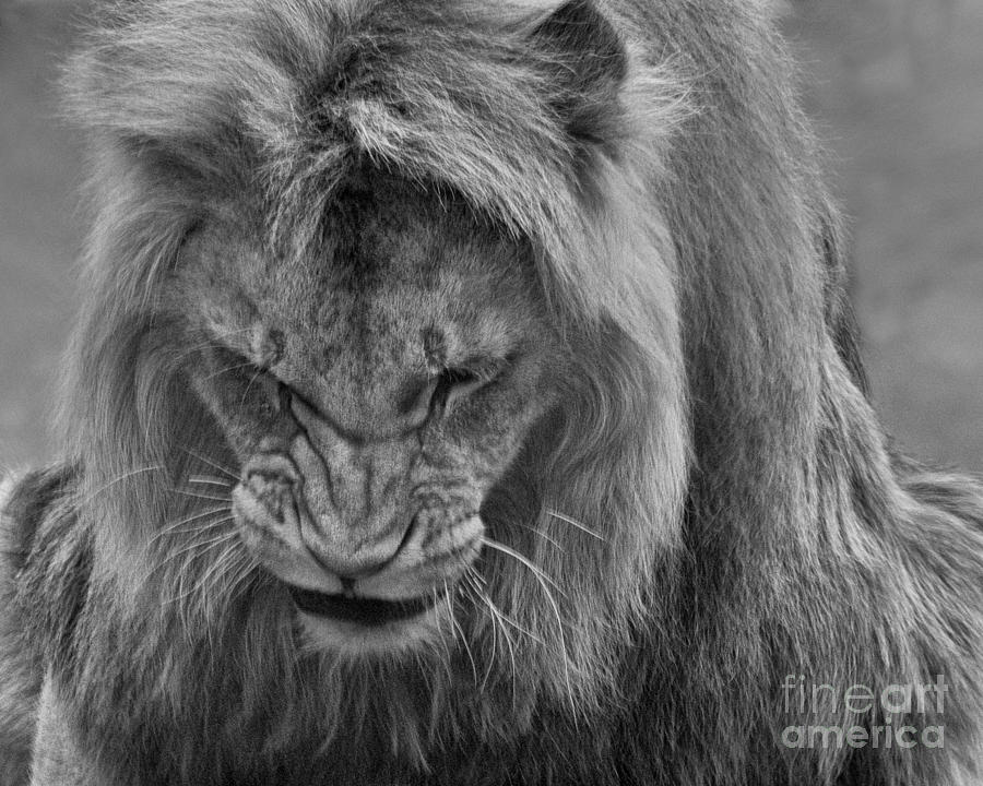 Angola Photograph - Angola Lion by White Stork Gallery