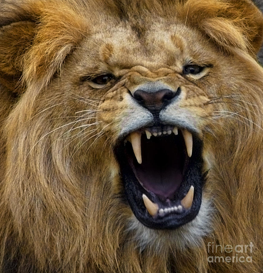 Angolian Photograph - Angolian Lion by White Stork Gallery