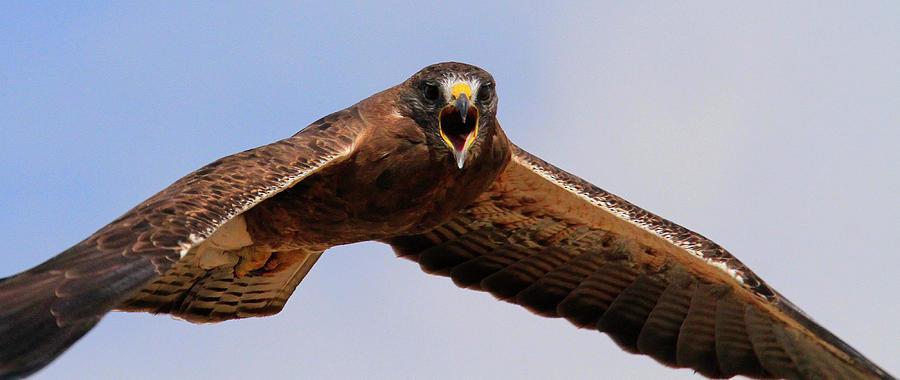 Angry Swainson's Hawk by Paul Marto