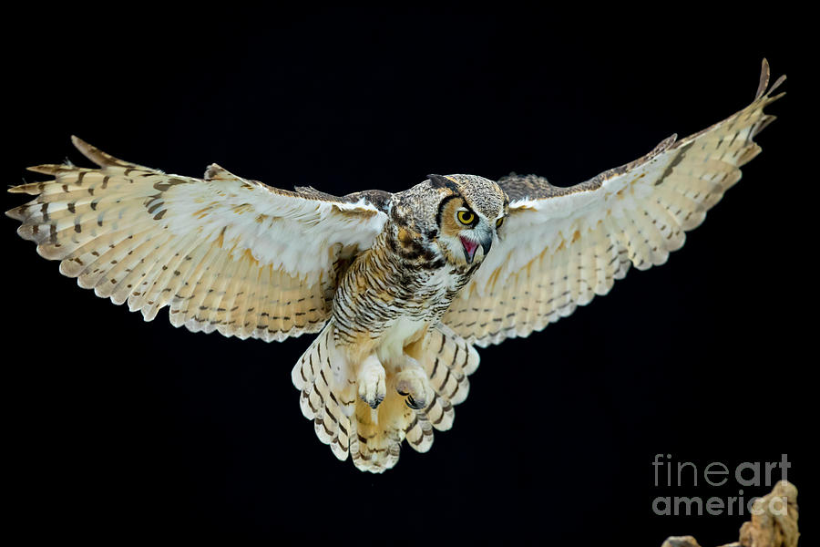 owl with wings spread  Animal - Bird - Great Horned Owl Wings Spread Photograph by CJ Park