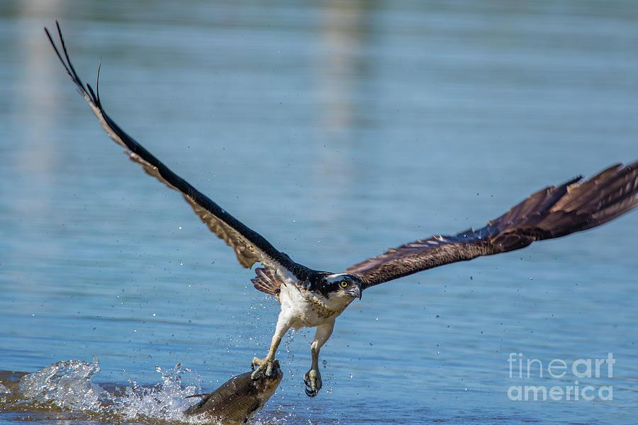 Osprey Photograph - Animal - Bird - Osprey Catching A Fish by CJ Park