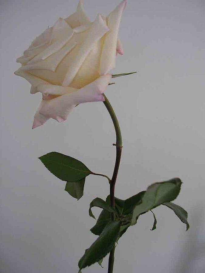 Floral Photograph - Anna Rose by Nancy Ferrier