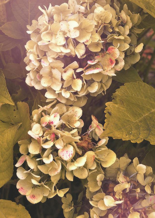 Hydrangea Photograph - Annabelle by JAMART Photography