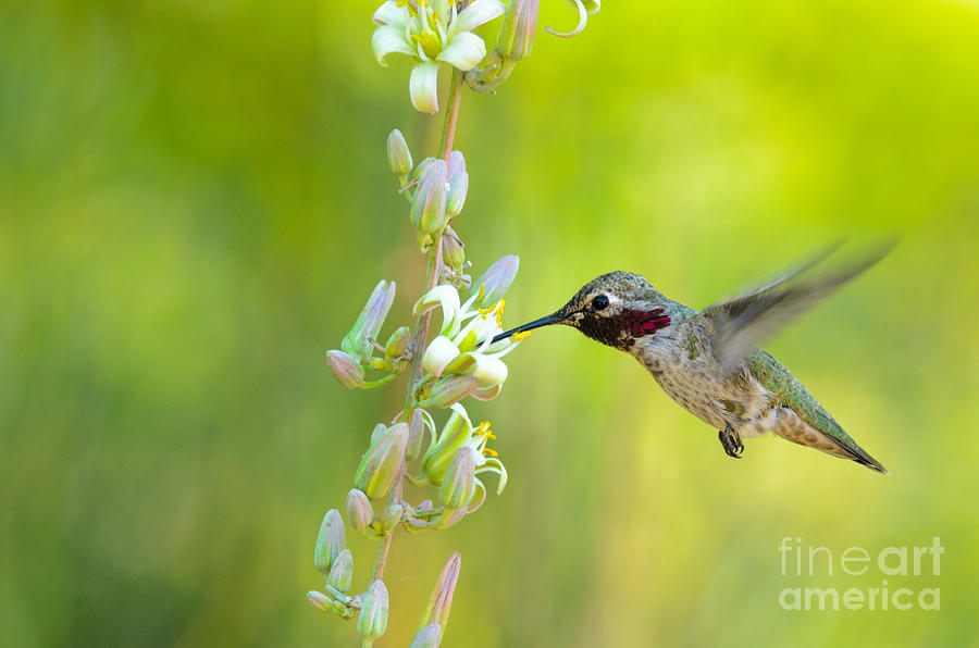 Anna's Photograph - Annas Hummingbird by Emily Bristor