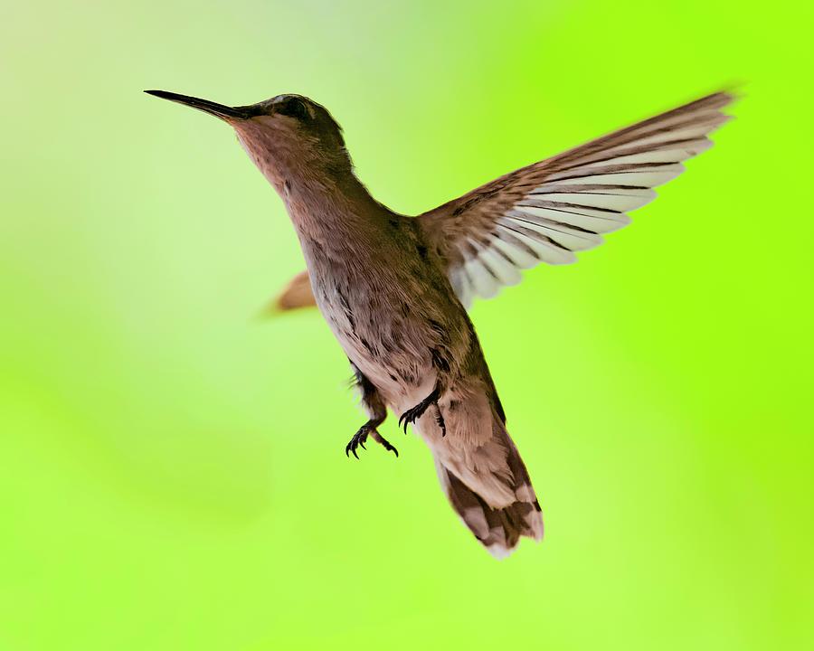 Annas Hummingbird H12 Photograph
