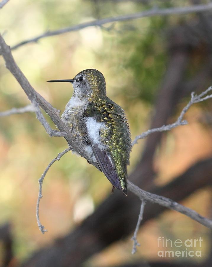 Arizona-sonora Desert Museum Photograph - Annas Hummingbird by Rupali Kumbhani