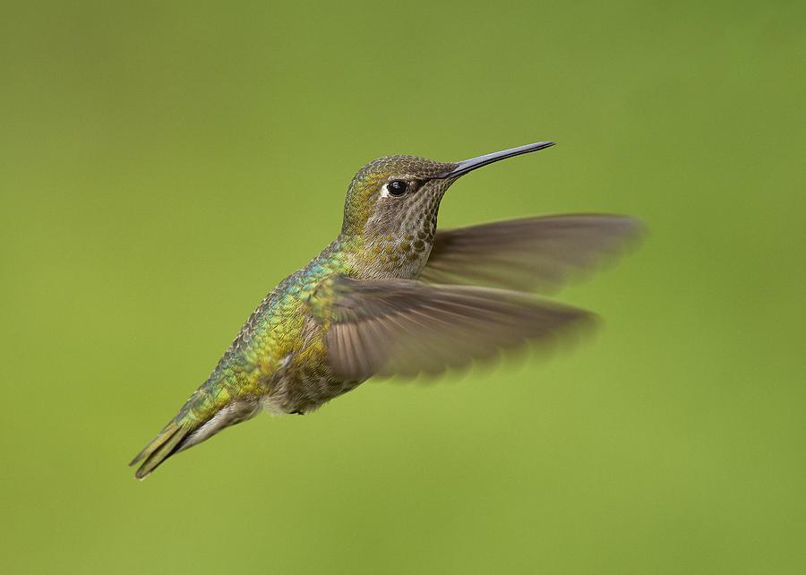 Anna's Hummingbird Photograph - Annas Hummingbird, Sacramento County California by Doug Herr