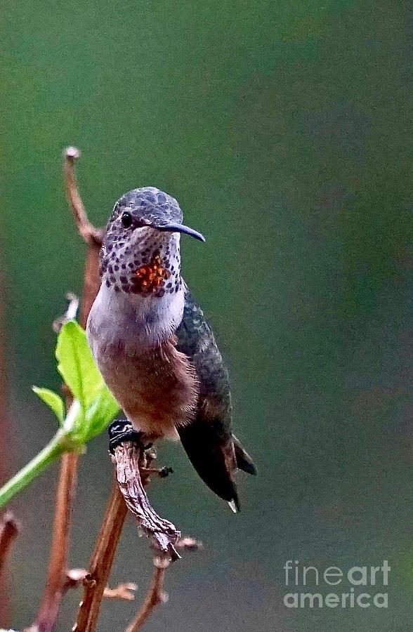 Hummingbird Photograph - Annas Pose by Michael Cinnamond