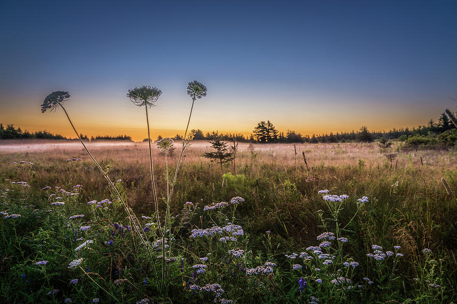 Anne's Lace on Misty Cavendish Meadows by Chris Bordeleau