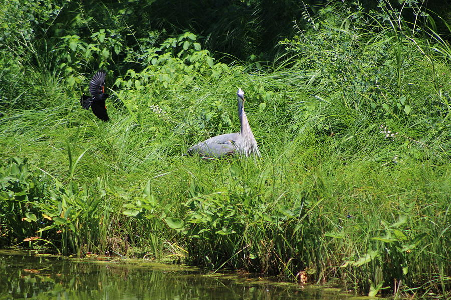 Marsh Photograph - Annoyed - Heron and Red Winged Blackbird 1 of 10 by Colleen Cornelius