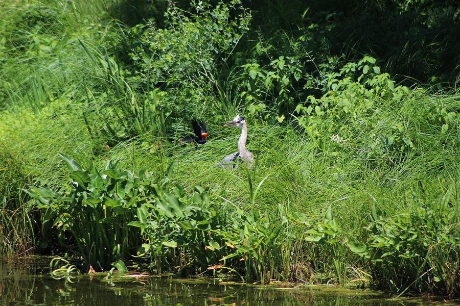 Marsh Photograph - Annoyed - Heron and Red Winged Blackbird 5 of 10 by Colleen Cornelius