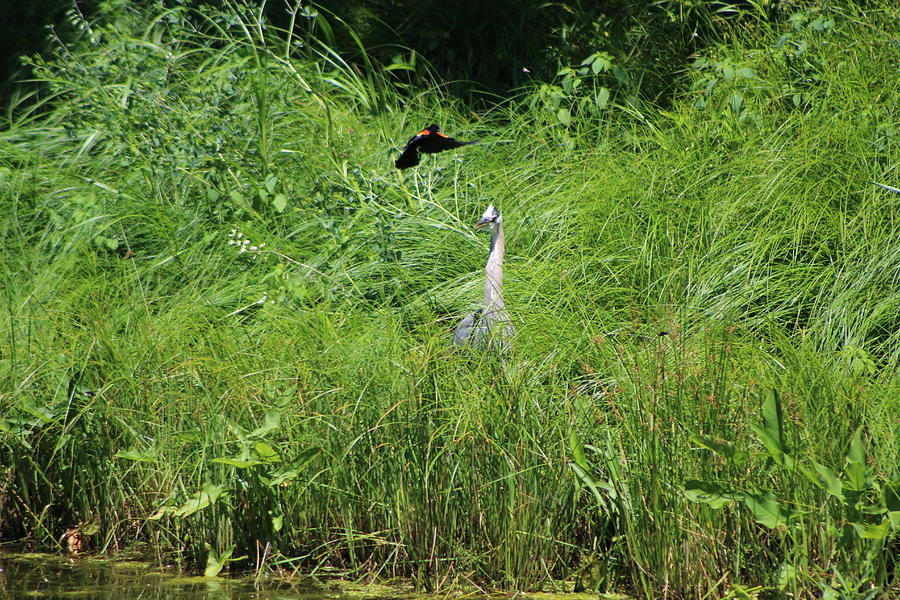Marsh Photograph - Annoyed - Heron And Red Winged Blackbird 7 Of 10 by Colleen Cornelius