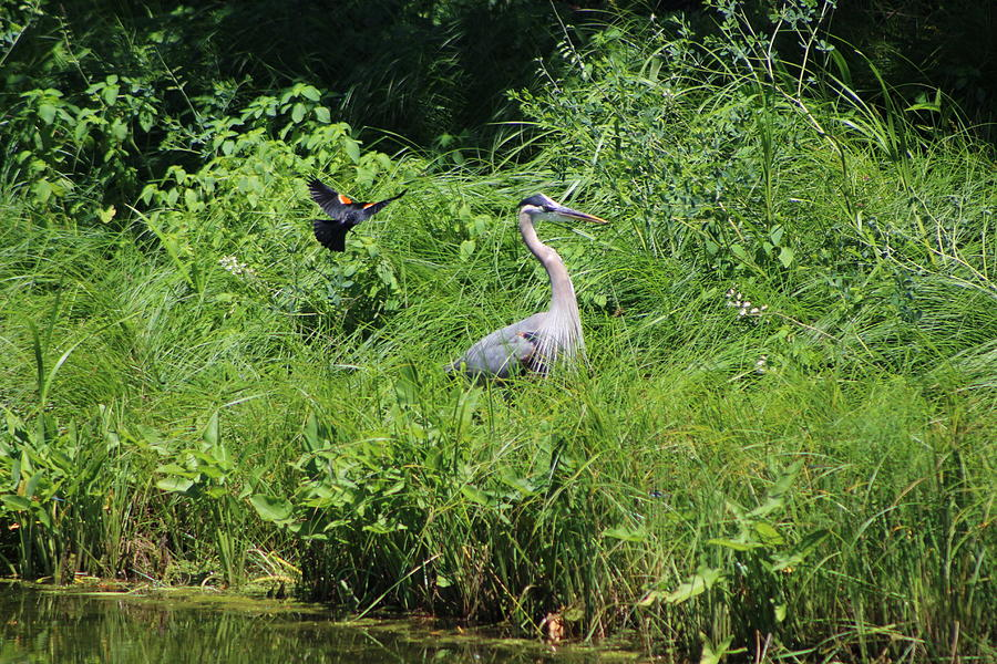 Marsh Photograph - Annoyed - Heron and Red Winged Blackbird 2 of 10 by Colleen Cornelius