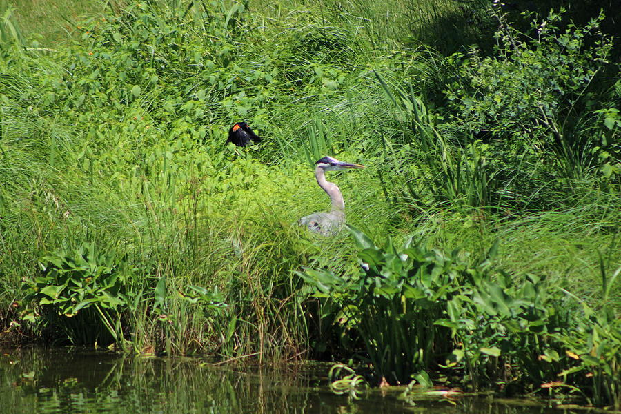 Marsh Photograph - Annoyed - Heron and Red Winged Blackbird 3 of 10 by Colleen Cornelius