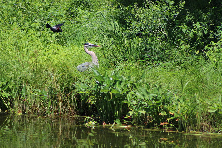 Marsh Photograph - Annoyed - Heron and Red Winged Blackbird 4 of 10 by Colleen Cornelius