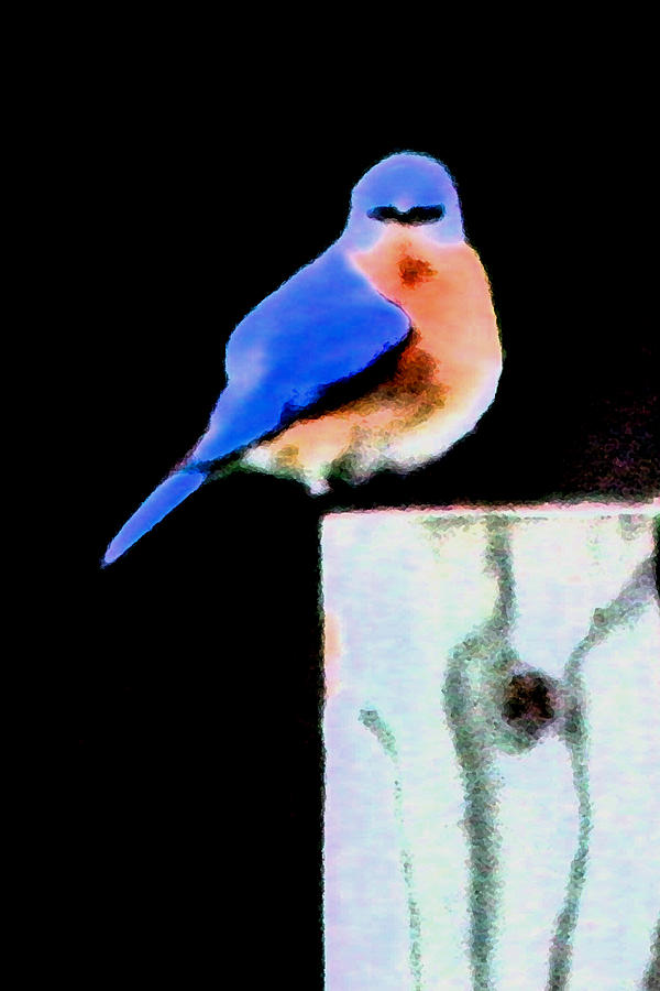 Bluebird Photograph - Another Angry Bluebird by Alan Skonieczny