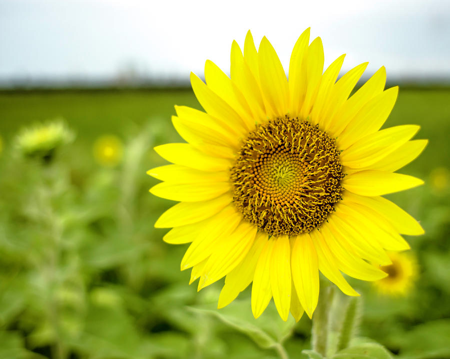 Another Common Sunflower by Printed Pixels