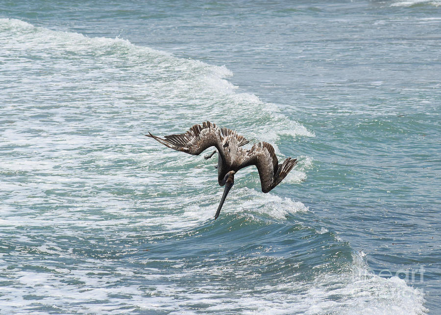 Brown Pelican Photograph - Another Dive by William Tasker