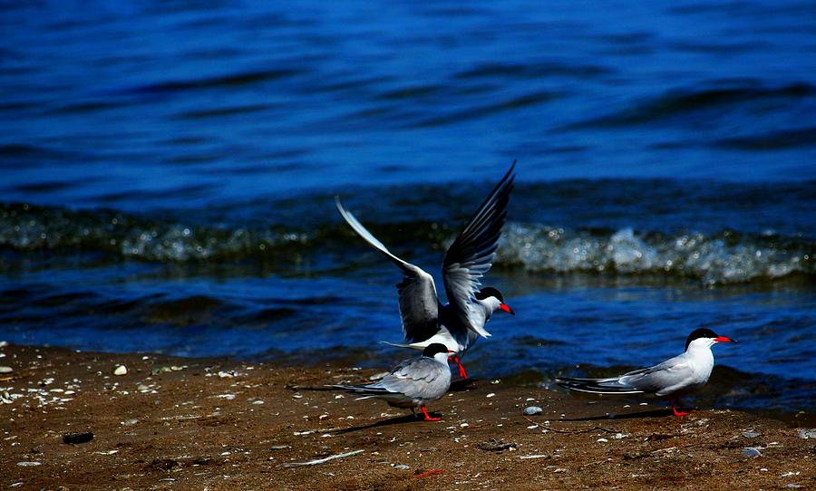 Bird Photograph - Another One Take A Tern by Amanda Struz