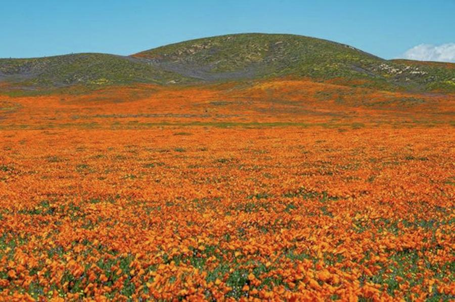 Another Peek At The Amazing Poppies In Photograph by Eric Adams