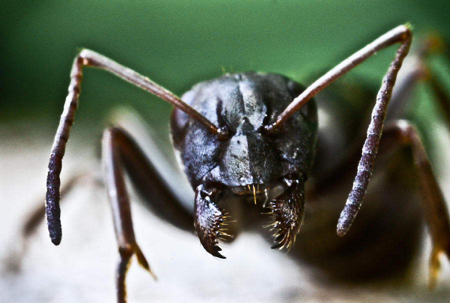 Ant Photograph - Ant Smile by Ryan Kelly