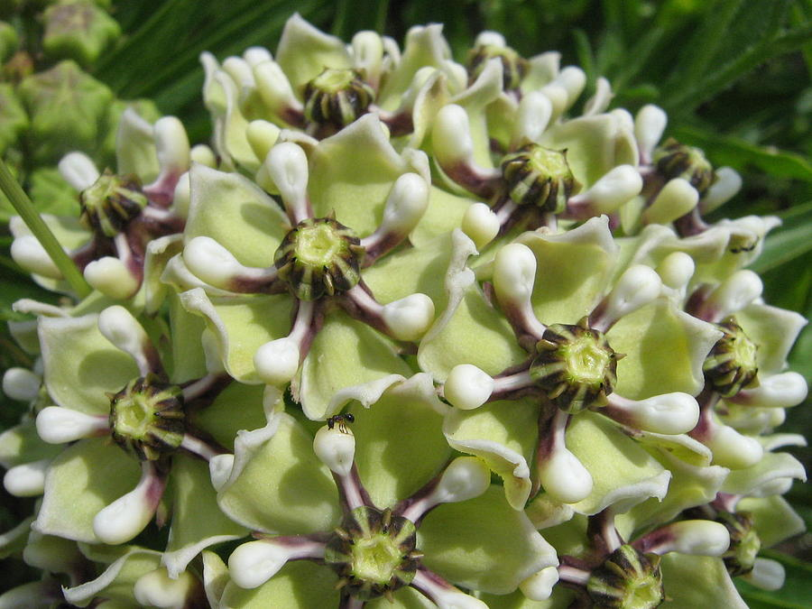 Milk Weed Photograph - Antelope Horn by Rebecca Shupp