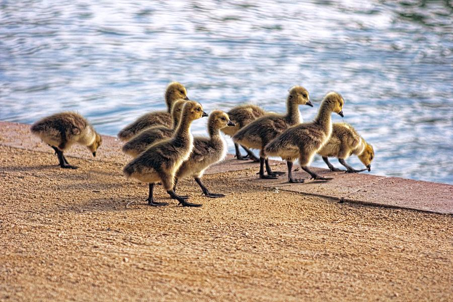 Baby Geese Photograph - Anticapation  by Tammy Espino