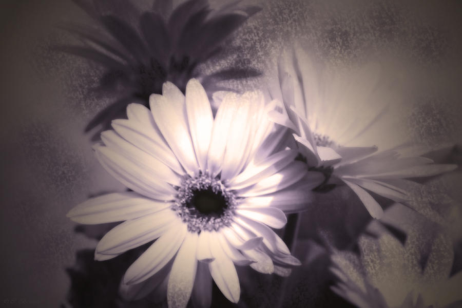 Daisies Photograph - Antique Delicate Daisies  by Cathy Beharriell