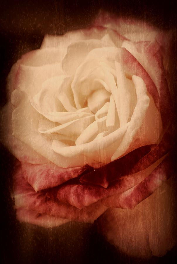 Roses Photograph - Antique Rose - In Full Bloom by Angie Tirado