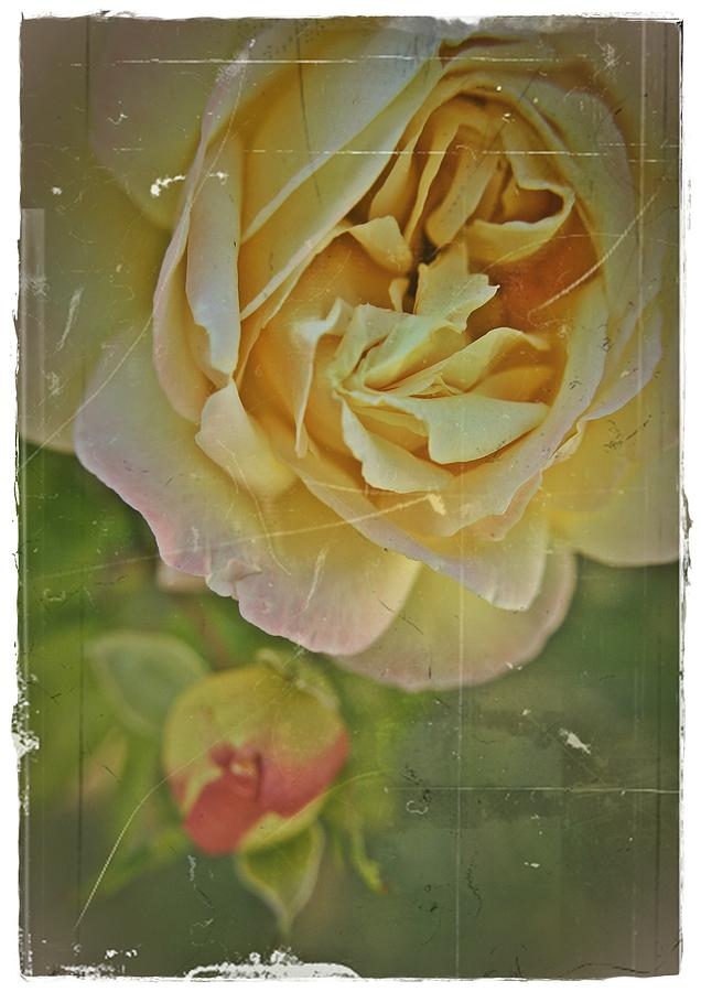 Rose Photograph - Antique Roses by Theresa Higby