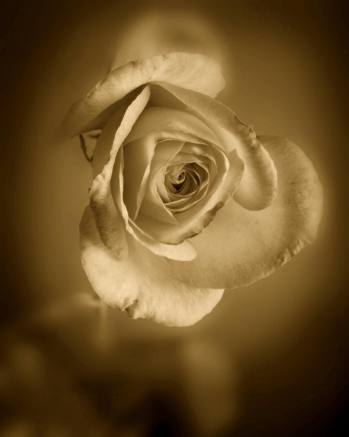 Rose Photograph - Antique Soft Rose by M K  Miller