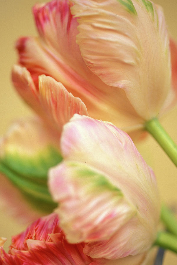 Tulips Photograph - Antique Tulips by Kathy Yates