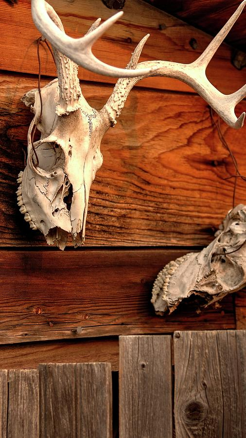 Antlers And Teeth Photograph