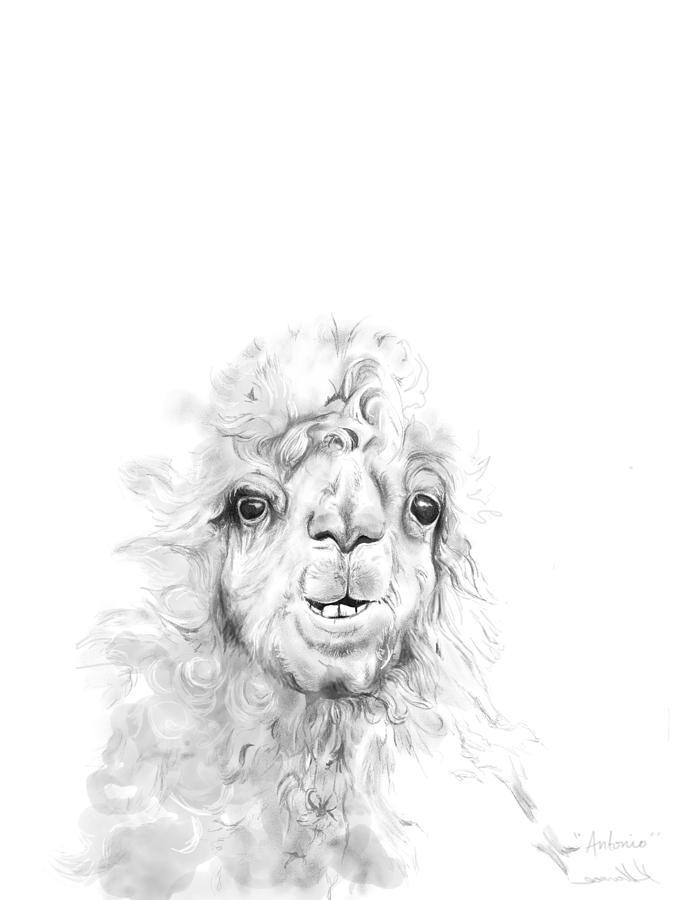 Llamas Drawing - Antonio by K Llamas