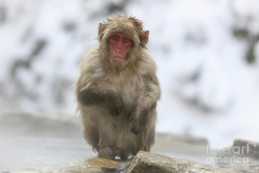 Snow Monkeys Photograph - Any Ideas by Leigh Lofgren