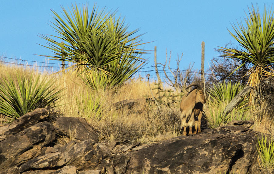 Aoudad Looking Back Over The Fence Photograph