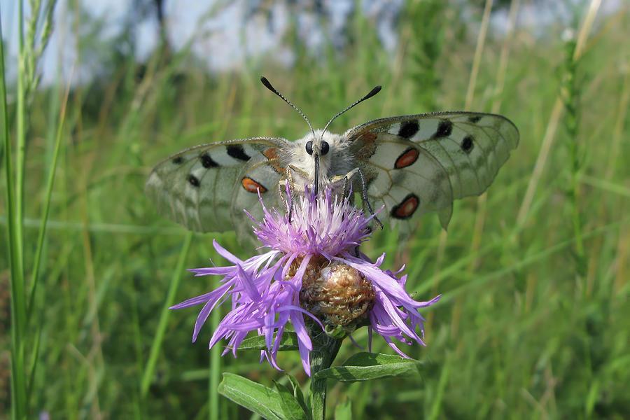 Apollo Butterfly - Parnassius Apollo 1 Photograph