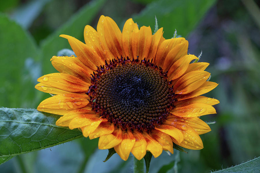 Sunflower Photograph - Apollos Ring After The Rain by Jeff Severson