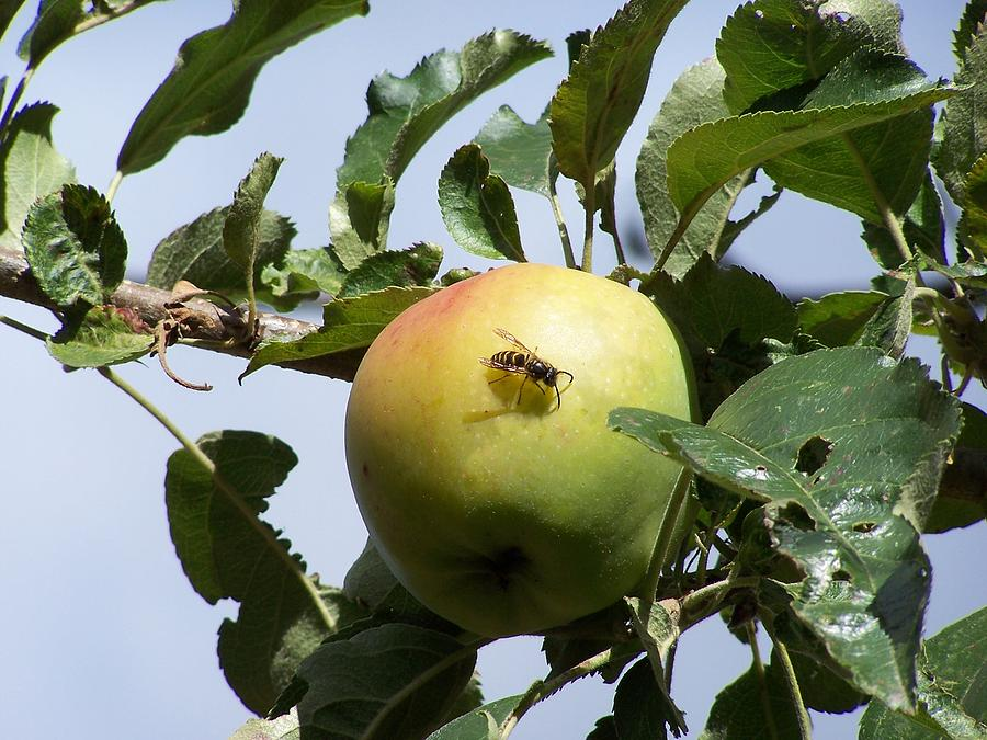 Apple Photograph - Apple Bee by Gene Ritchhart