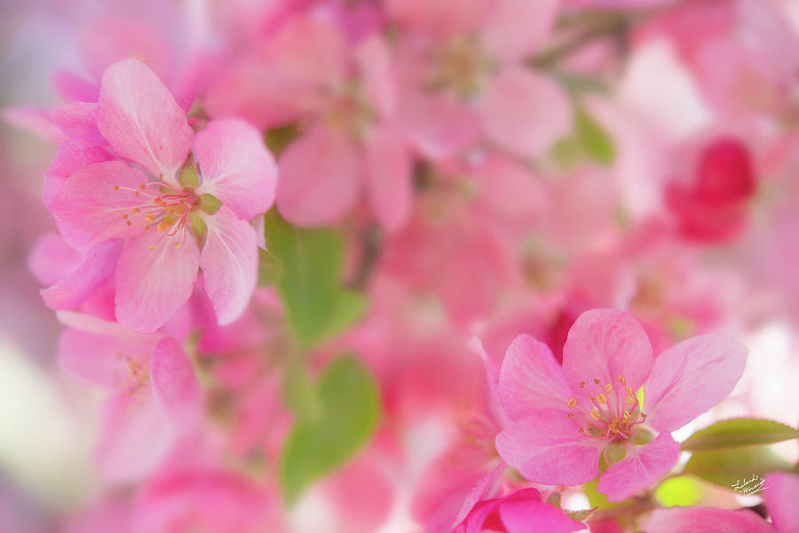 Apple Photograph - Apple Blossom 4 by Leland D Howard